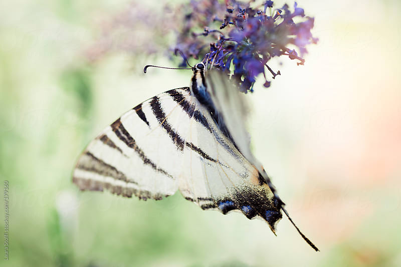 White and black striped butterfly on purple buddleia flower by Laura Stolfi for Stocksy United