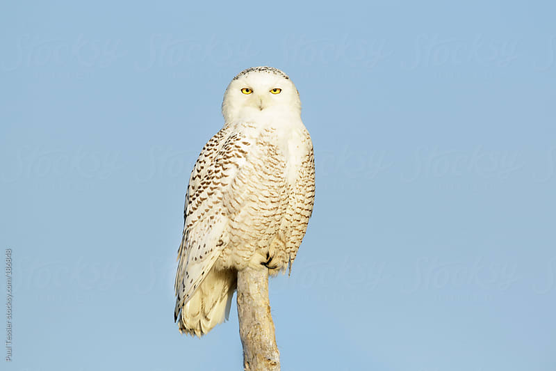 Perched Snowy Owl by Paul Tessier for Stocksy United