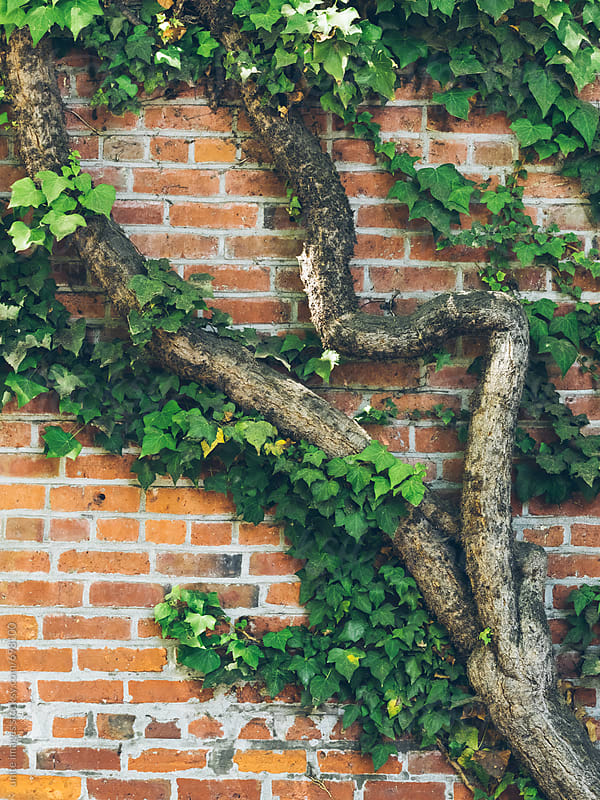 green ivies on the wall by unite images for Stocksy United