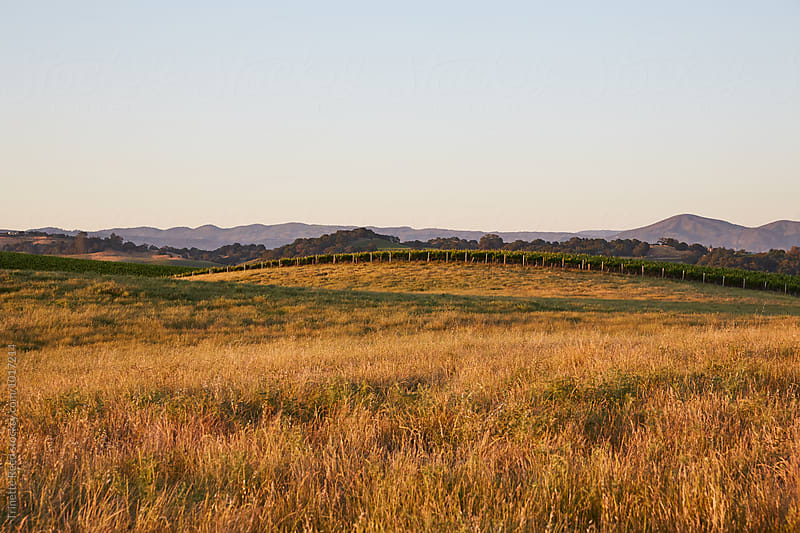 Pasture and vineyard in Napa Valley, California by Trinette Reed for Stocksy United