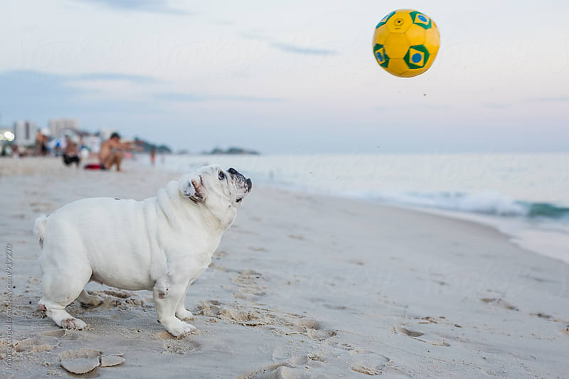 Cute Bulldog playing with a ball  on a Brazilian beach by Mauro Grigollo for Stocksy United