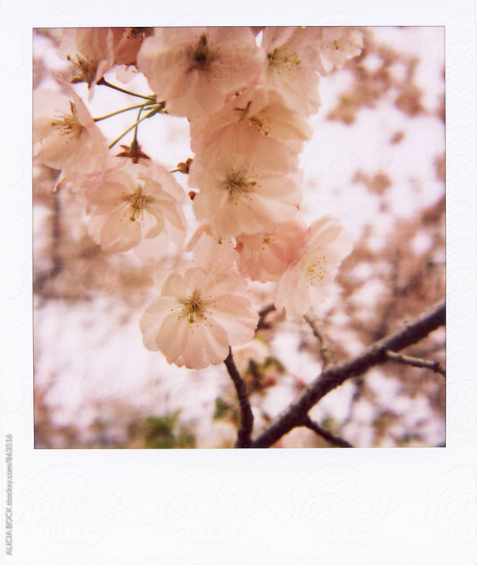 Polaroid Of Pink Cherry Blossoms On A Spring Day by ALICIA BOCK for Stocksy United