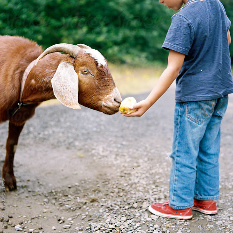 Boy feeding goat by Heather Perera for Stocksy United