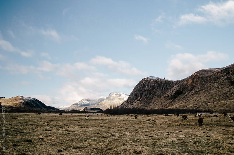 Distant cows grazing in pasture in Patagonia by Justin Mullet for Stocksy United