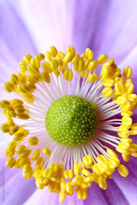 Extreme macro of japanese anemone by Marcel for Stocksy United
