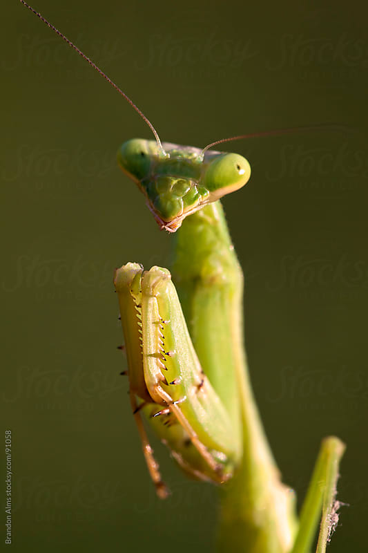 Praying Mantis Macro Portrait by Brandon Alms for Stocksy United