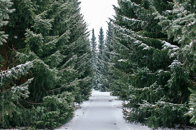Tall pine trees on either side of a snow covered road by Zocky for Stocksy United