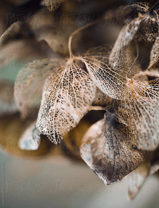 Lace structure of a pale hydrangea flower, extreme close-up by Laura Stolfi for Stocksy United