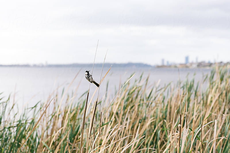 New Holland Honeyeater clinging to tall woody grass reed, with river and city in the background by Jacqui Miller for Stocksy United