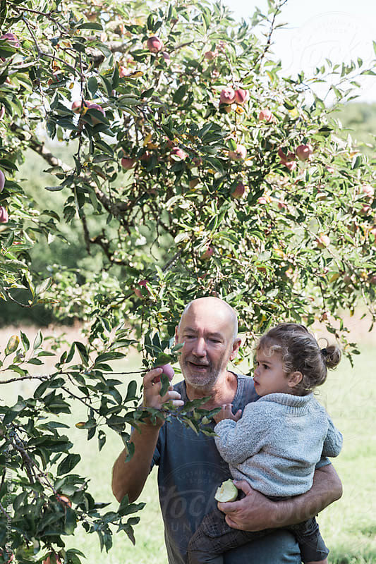 Happy grandfather and his grandkid picking apples by Lior + Lone for Stocksy United