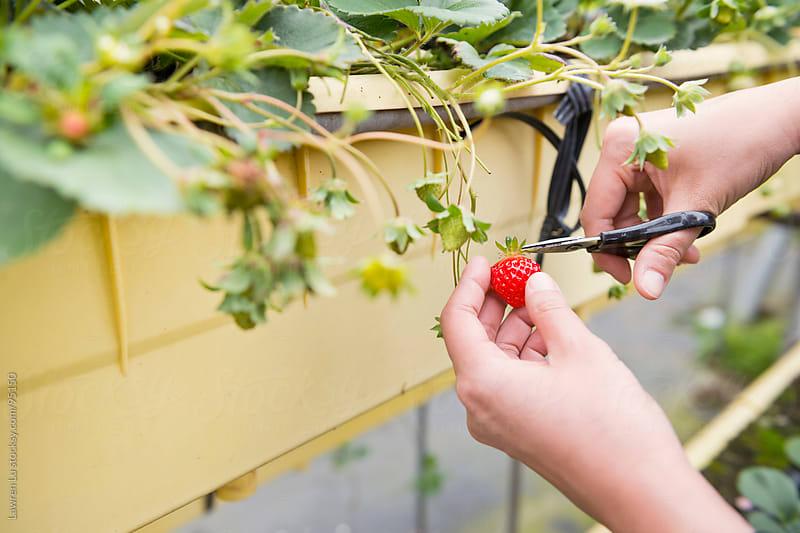 Picking ripe strawberries in farm by Lawren Lu for Stocksy United