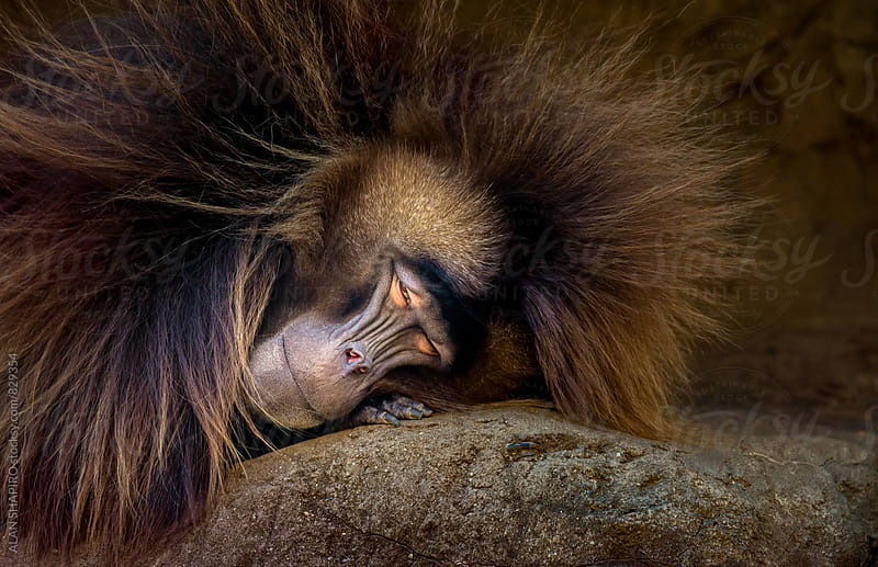 Baboon just waking up by alan shapiro for Stocksy United