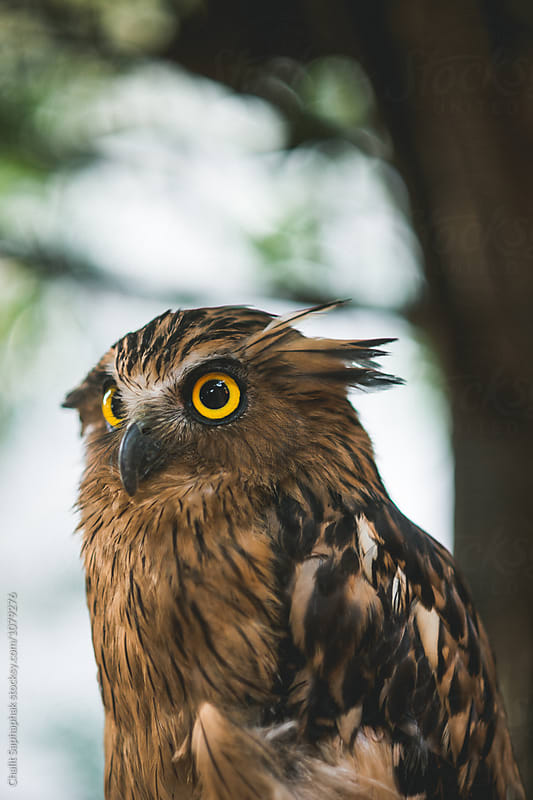Owl by Chalit Saphaphak for Stocksy United
