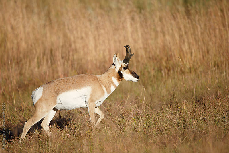 Pronghorn Antelope by Paul Tessier for Stocksy United