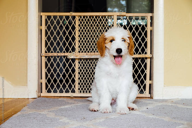A White and Brown Golden Doodle Puppy sitting on carpet in front of baby gate by J Danielle Wehunt for Stocksy United