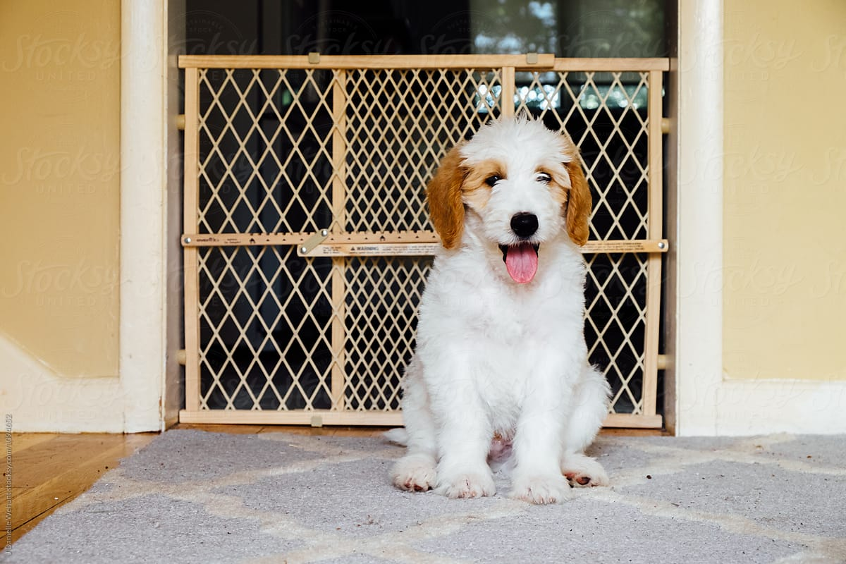 A White And Brown Golden Doodle Puppy Sitting On Carpet In Front Of Baby Gate Por J Danielle Wehunt Stocksy United