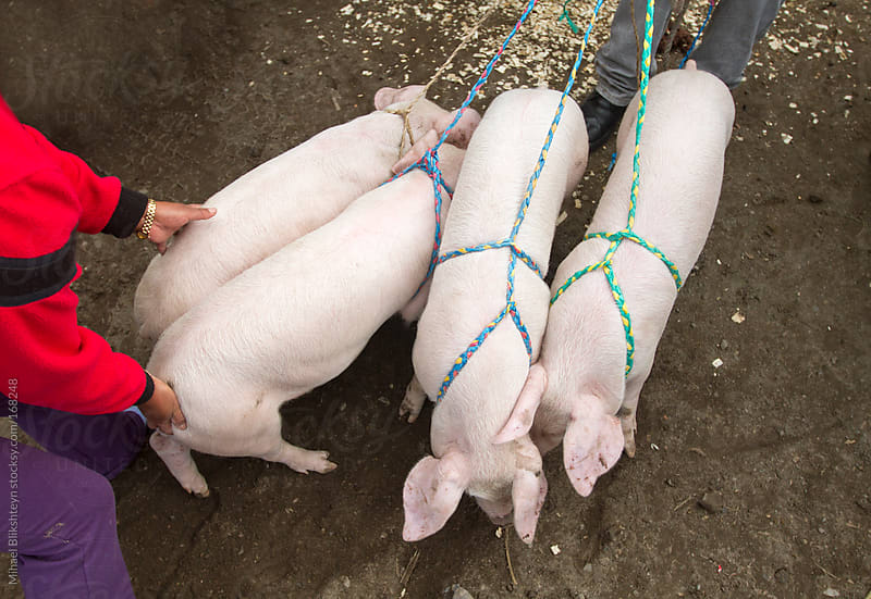 Pigs on leashes for sale at an animal market by Mihael Blikshteyn for Stocksy United