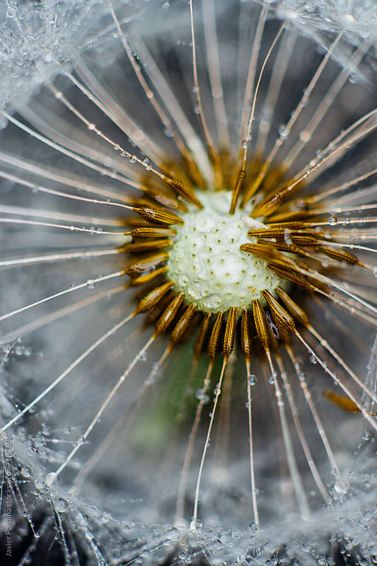 Closeup picture of Dandelion. by Javier Pardina for Stocksy United