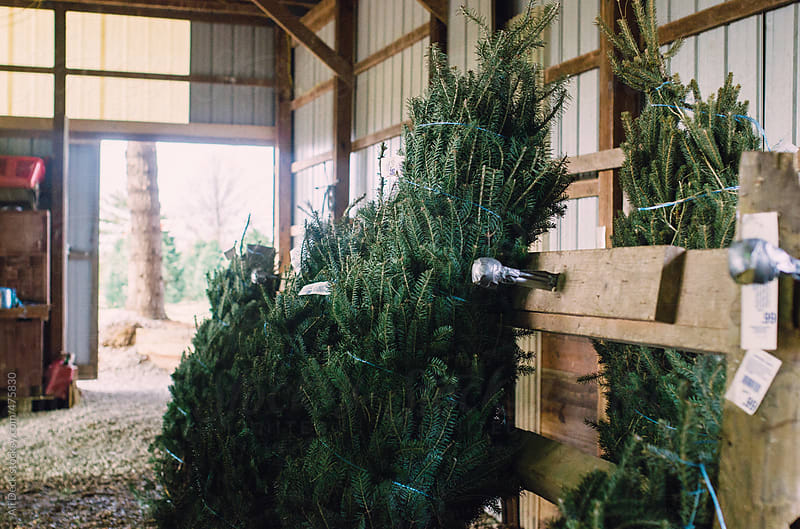 Christmas Trees by Ali Deck for Stocksy United