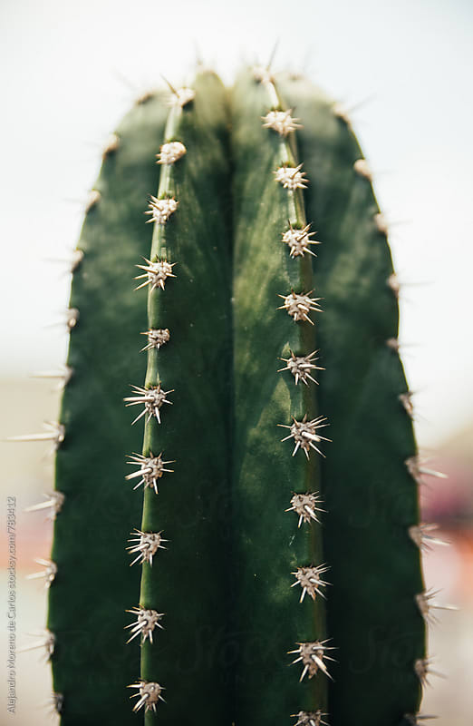 Close up portrait of an isolated cactus plant by Alejandro Moreno de Carlos for Stocksy United