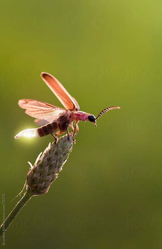 Firefly Macro Showing its Glow Light as it Takes Off in Flight by Brandon Alms for Stocksy United