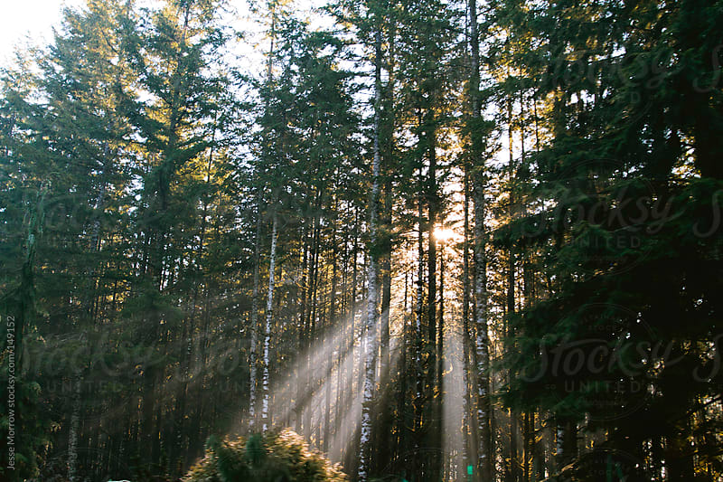 Sun beams through branches by Jesse Morrow for Stocksy United