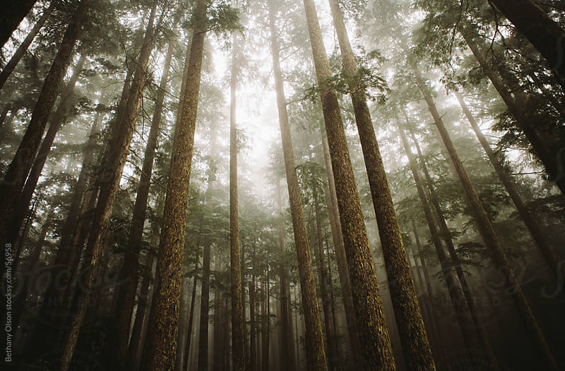 Foggy Forest by Bethany Olson for Stocksy United