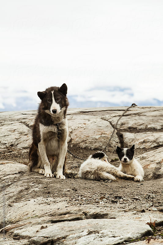 Sled dogs by Jonatan Hedberg for Stocksy United
