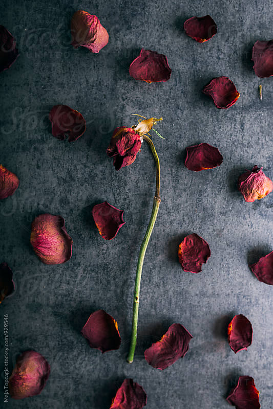 Dry roses against a textured background by Maja Topcagic for Stocksy United