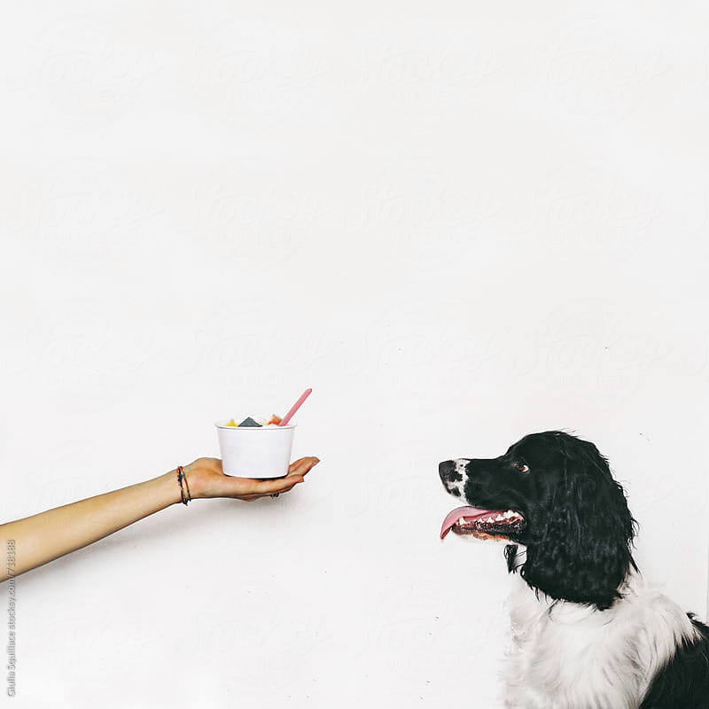 Dog staring at ice cream cup by Giulia Squillace for Stocksy United