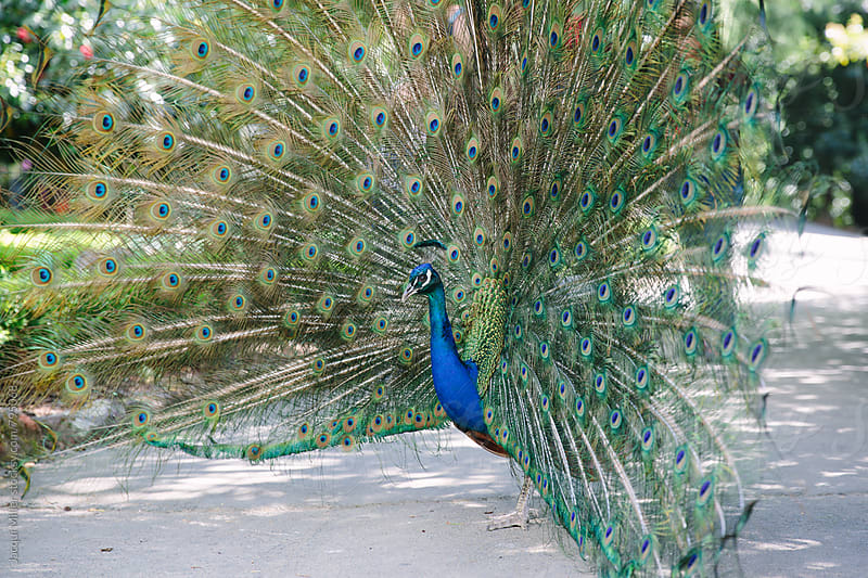 Side view of male peacock with feathers on display during courtship by Jacqui Miller for Stocksy United