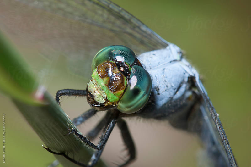 Macro of dragonfly face and eyes by David Smart for Stocksy United