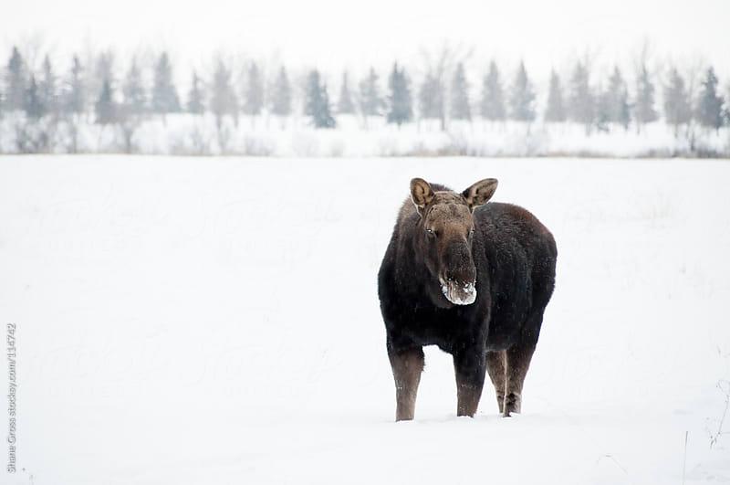 Winter Moose by Shane Gross for Stocksy United