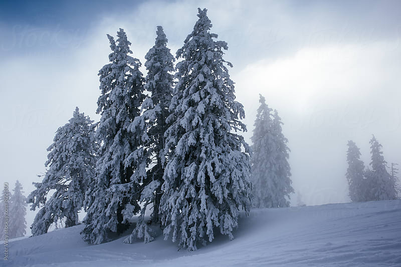 Snow covered trees by Peter Wey for Stocksy United