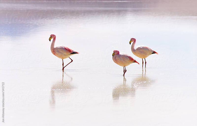 Flamingoes by Jon Attaway for Stocksy United