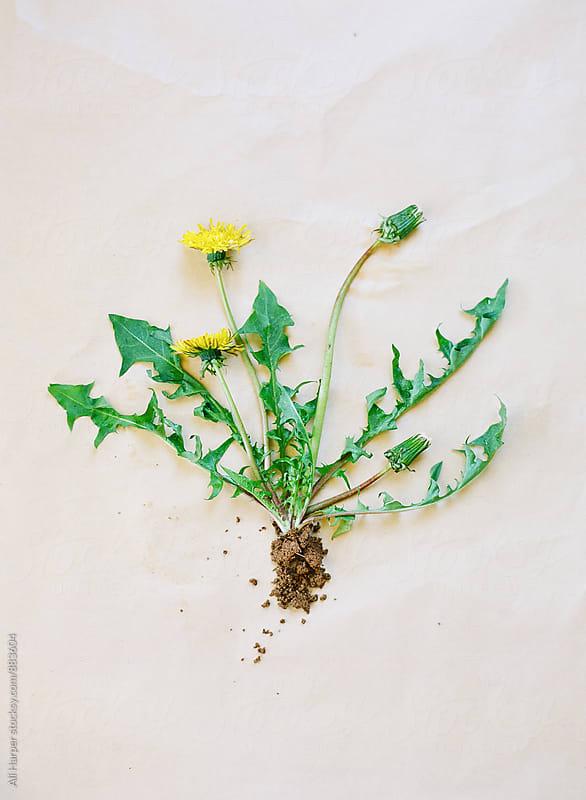 Dandelion weed arranged on table by Ali Harper for Stocksy United