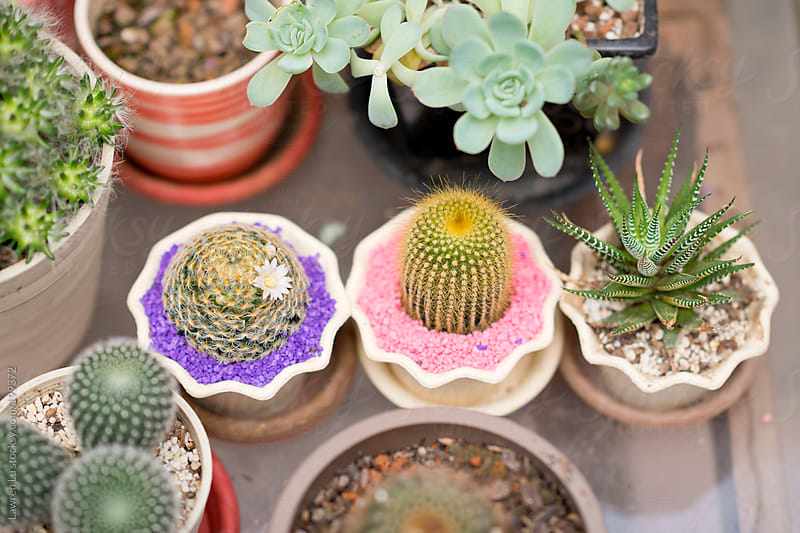 Variety of cactuses in pots  by Lawren Lu for Stocksy United