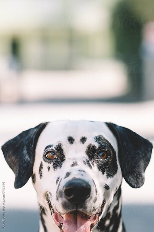 Portrait of a beautiful dalmatian dog looking at camera by Luca Pierro for Stocksy United