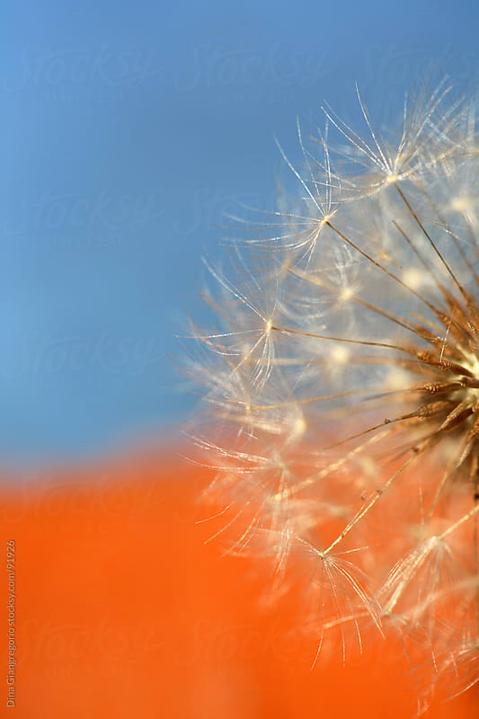 Dandelion up against bright blue and orange background by Dina Giangregorio for Stocksy United