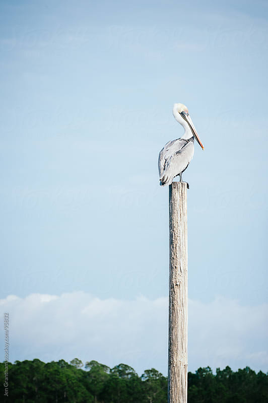 Pelican on a post by Jen Grantham for Stocksy United