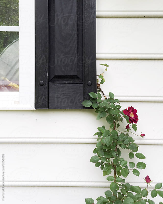 Climbing rose on colonial home by Marta Locklear for Stocksy United