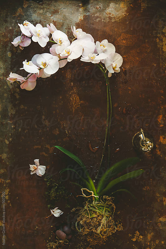 Phalaenopsis Orchid Plant or Moth Orchid by Nadine Greeff for Stocksy United