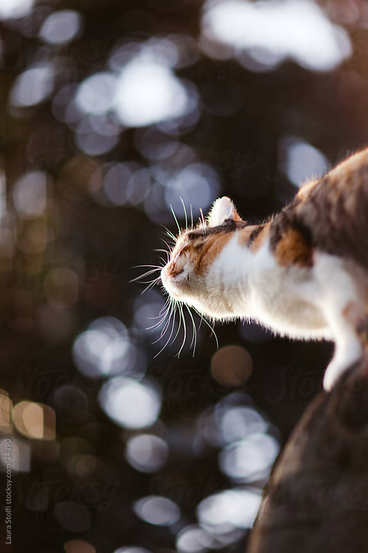 Cat on a tree in sunset light seen from below with focus on whisker by Laura Stolfi for Stocksy United