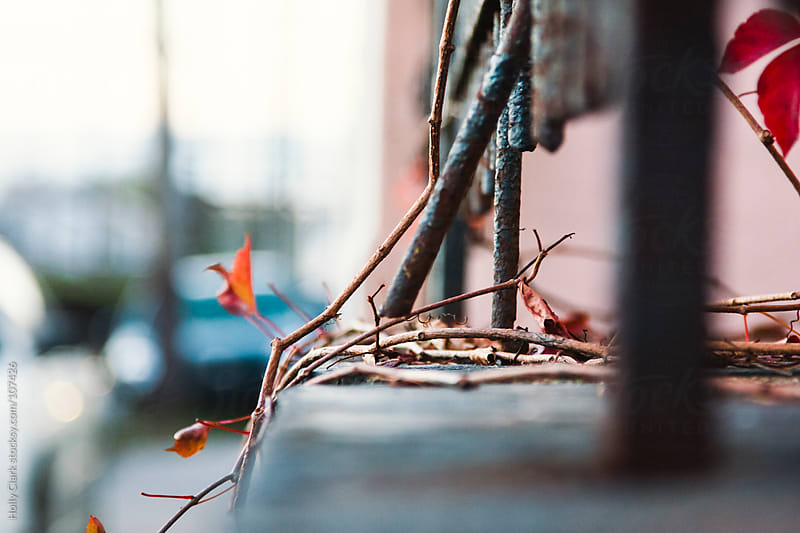 Virginia Creeper on an urban fence. by Holly Clark for Stocksy United