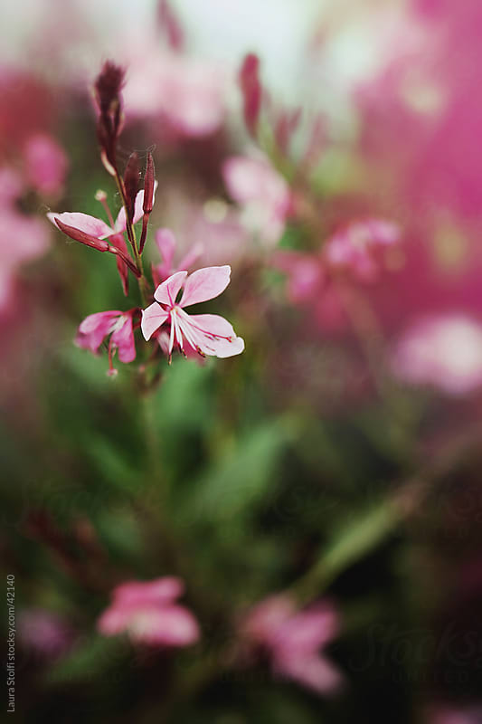 Pink Gaura lindheimeri flowers in bloom on the bush by Laura Stolfi for Stocksy United