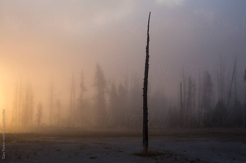 Lone spooky tree on a foggy morning by Gary Parker for Stocksy United