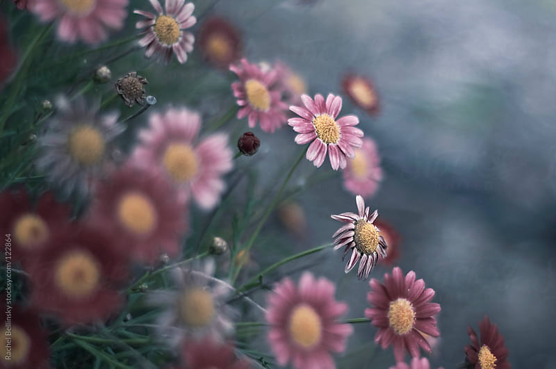 Pink daisy flowers on a pale blue shrub by Rachel Bellinsky for Stocksy United