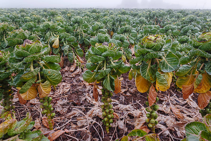 Field of brussels sprouts on a foggy winter day by Paul Phillips for Stocksy United