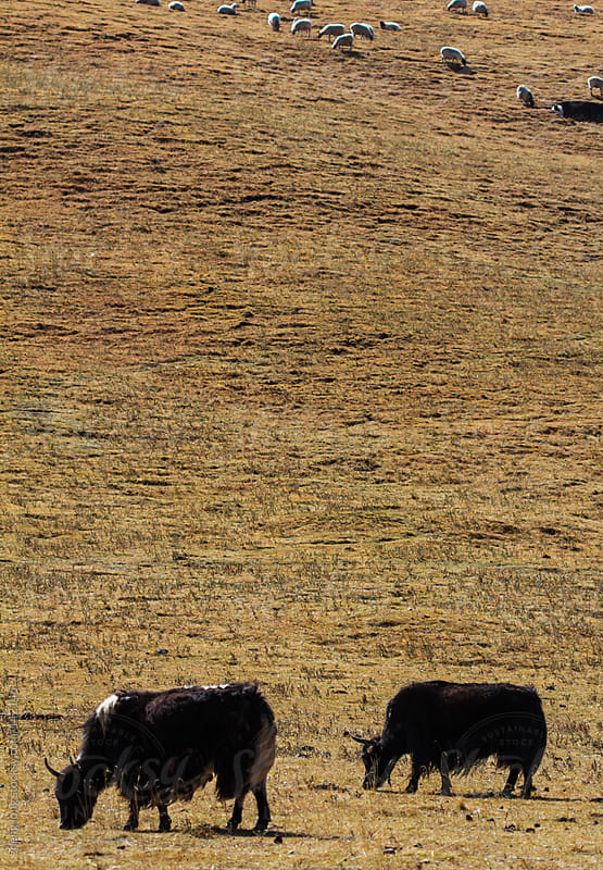 Autumn pasture, Qinghai Tibet Plateau of China by zheng long for Stocksy United