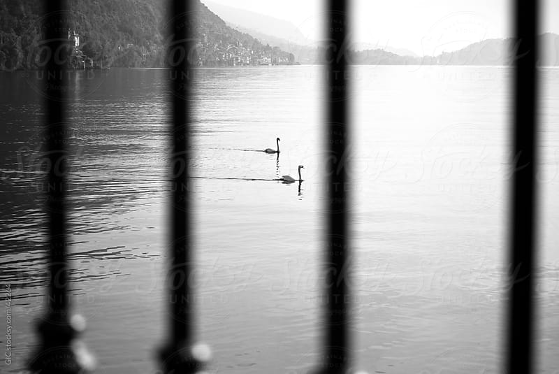 Two swans In the lake by GIC for Stocksy United